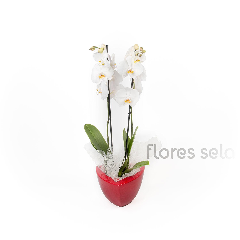 Phallaenopsis Maceta 50